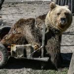 Usko restera comme le premier ours au monde à réussir à se déplacer en fauteuil roulant © Aris MESSINIS / AFP