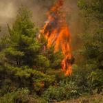 Un arbre englouti par les flammes ce mardi 10 août sur l'île d'Eubée, où le feu progresse. ANGELOS TZORTZINIS / AFP
