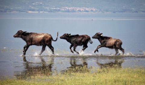 Buffles sur le lac de Kerkini