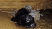 Un bébé phoque moine (monachus monachus) se repose dans une grotte marine sur la côte ouest de Chypre, le 10 novembre 2011. Photo fournie par le Département de la pêche et de la recherche marine de Chypre
